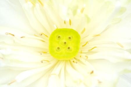 pistils: Beautiful lotus flower petal and pistils