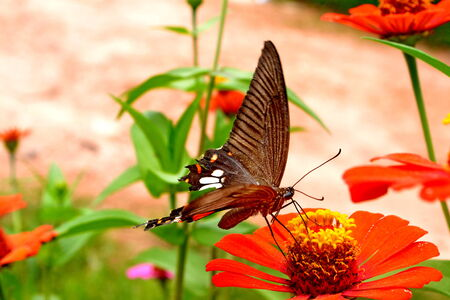 Female Black Swallowtail butterfly feeding on flower against bright background  photo