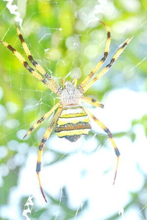 Yellow-black spider in spider web photo