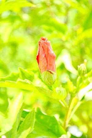 malvaceae: Hibiscus flowers are a genus of flowering plants in the mallow family, Malvaceae