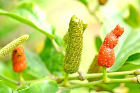 piperaceae: long pepper, Piper retrofractum  Vahl, Piperaceae, Magnoliids,