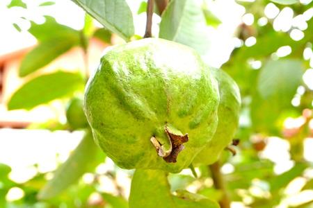 linn: Guava, Psidium guajava Linn. on tree