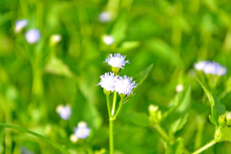 valerian plant: Close up of a valerian plant - shot in a garden Stock Photo