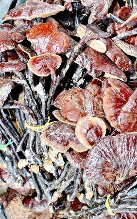 Ganoderma lucidum in Marketing photo