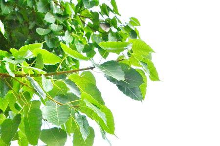 peepal tree: Peepal or bodhi leave from the bodhi tree. Stock Photo