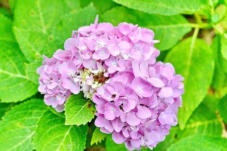 airiness: hydrangea flower  closeup image of hydrangea flower