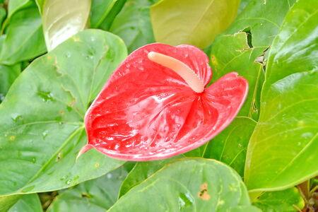 Flamingo flower or Anthurium flower in the garden photo