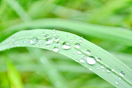 Raindrops on grass  Big water drops on green grass blades, extreme macro photo