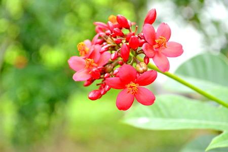 rosids: Spicy Jatropha integerrima Scientific classification is Kingdom (Plantae,Eud icots,Rosids) Order (Malpighiales) , Family (Euphorbiacea e), Subfamily (Crotonoid eae), Tribe (Jatropheae), Genus (Jatropha).