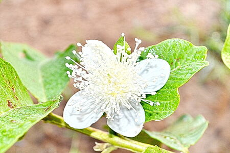 guayaba: guayaba flor