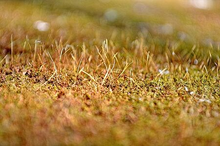 frequent: MOSS, anophyte macro shot