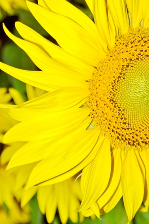 caulis: close-up with sunflower on a summer day