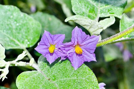 submissiveness: purple wild eggplant flowers blooming in nature, violet color way flowers, Eggplant, in natural environment under sunlight Stock Photo