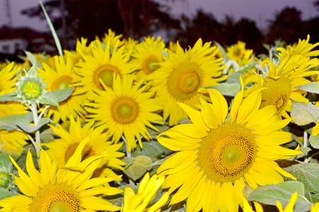 caulis: Blooming field of a sunflowers