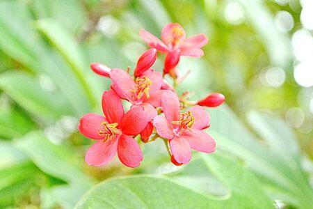 rosids: Spicy Jatropha integerrima Scientific classification is Kingdom(Plantae,Eud icots,Rosids) Order(Malpighiales) , Family(Euphorbiacea e), Subfamily(Crotonoid eae), Tribe(Jatropheae), Genus(Jatropha).