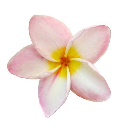 champa flower: Frangipani, Dok Champa Laos,National flower of Laos Stock Photo