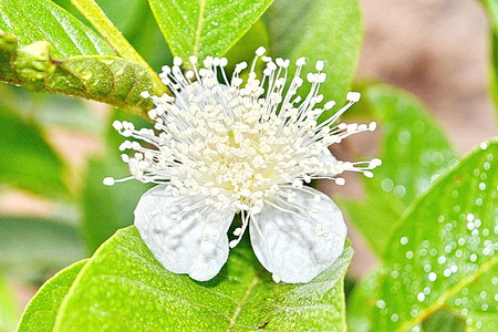 tropical fruits: guava flower  Tropical Fruits Stock Photo
