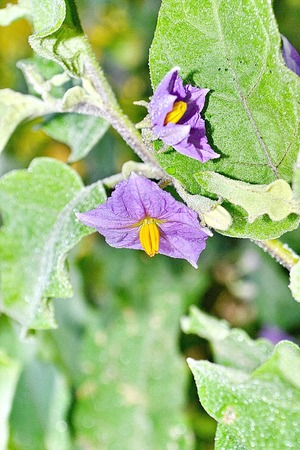 submissiveness: purple wild eggplant flowers blooming in nature, violet color way flowers Stock Photo