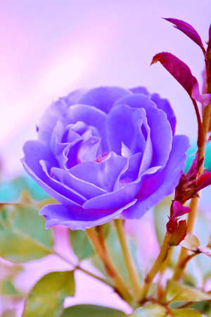 Winter flowers: purple rose flowers in a greenhouse photo