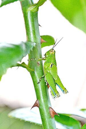 grasshopper nice small grasshopper on the green background photo