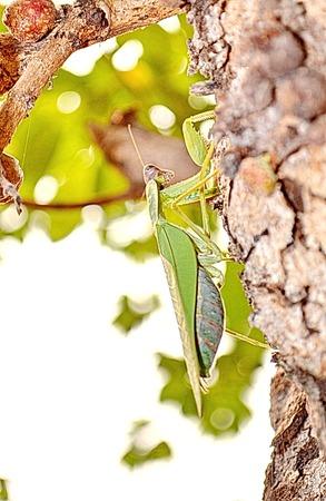 praying mantis: green praying mantis on Tree bark