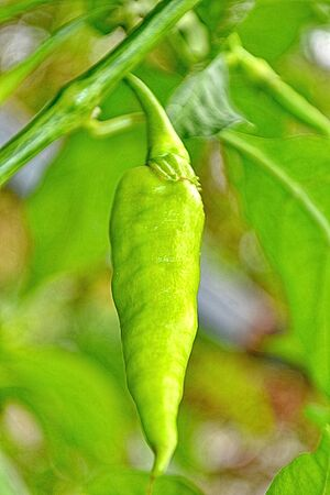 Green hot chili pepper tree growing photo