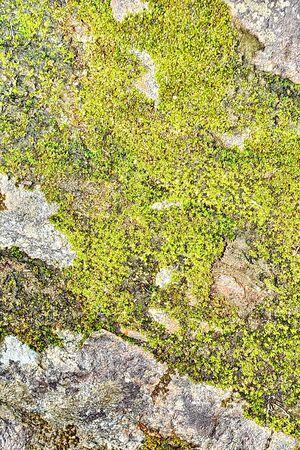 rowanberry: Lichen and moss on the bark of rowanberry
