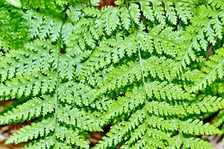 brake fern: Fern Full Frame Stock Photo