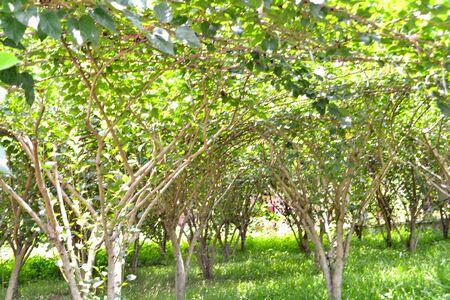 arboleda: Plátanos arboleda en primavera Foto de archivo