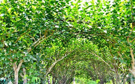 arboleda: Pl�tanos arboleda en primavera Foto de archivo