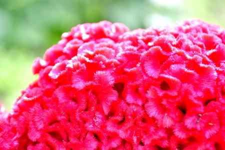 cockscomb: Cockscomb  flower