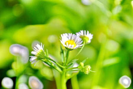 valerian plant: Close up of a valerian plant