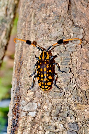 sripes: four-banded longhorn beetle, leptura quadrifasciata Stock Photo