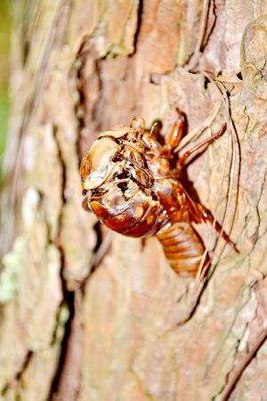 clinging: Cicada Cicadidae Skin Clinging to a Tree