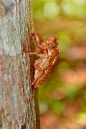 cicada bug: Cicada Cicadidae Skin Clinging to a Tree