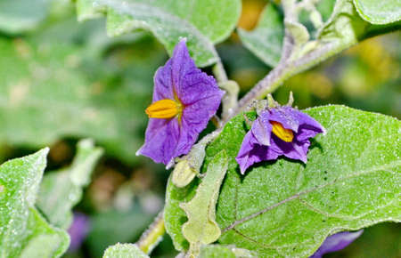 submissiveness: purple wild eggplant flowers blooming in nature Stock Photo