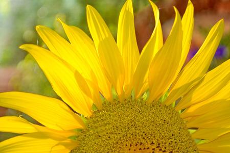 helianthus annuus: Common Sunflower, Helianthus annuus, COMPOSITAE.