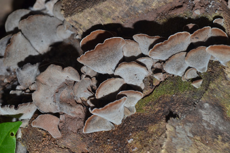 jews: Auricularia auricula-judae or Jews ear fungus on an old tree