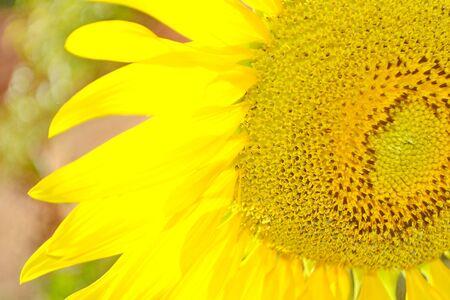 helianthus: Common Sunflower, Helianthus annuus, COMPOSITAE.