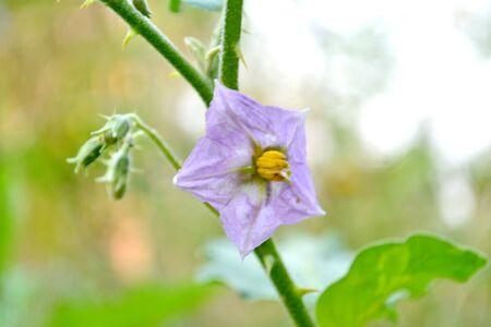 submissiveness: purple eggplant flowers
