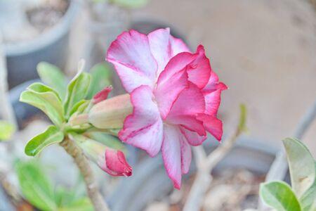 obesum: Desert rose or Ping Bignonia flower tree