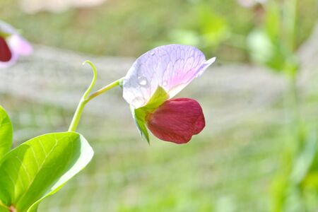 faboideae: flowering of sweet pea close up outdoors