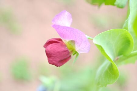 sweet pea: flowering of sweet pea close up outdoors