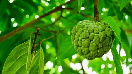 Fresh custard apple on the tree