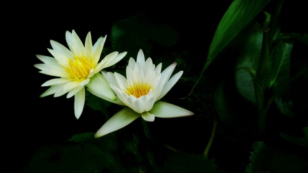 White lotus flower with green leaves and black background