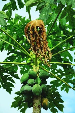 Fresh green papaya fruit on the tree Reklamní fotografie
