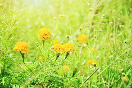 Marigolds blossoming in the field