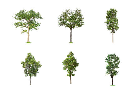 Collection of Isolated Trees on white background, A beautiful trees from Thailand, Suitable for use in architectural design, Decoration work, Used with natural articles both on print and website.