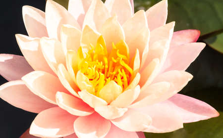 Beautiful pink water lily or lotus flower in pond. Royalty high quality free stock footage of a pink lotus flower. background is the lotus leaf in a lotus pond at Yokohama, Kanagawa Prefecture Japan.