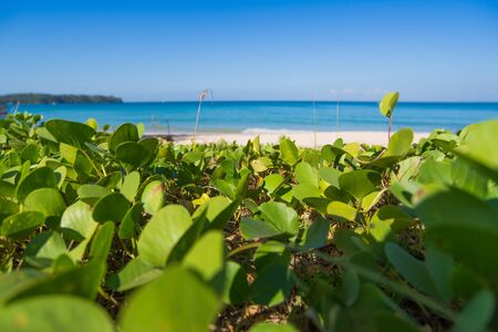 pes caprae: phuket beach with grass Stock Photo
